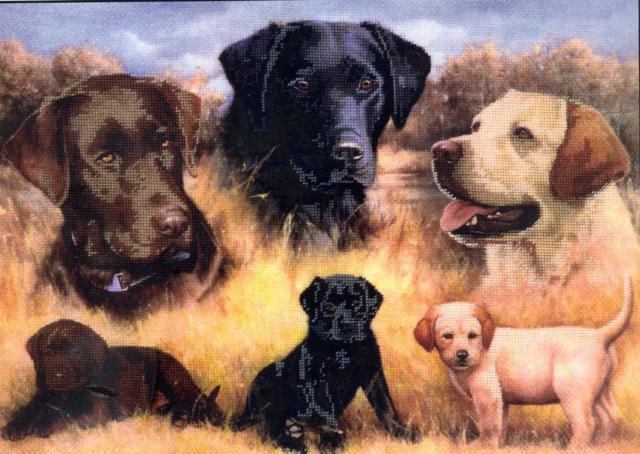 Лабрадоры, собаки, животные