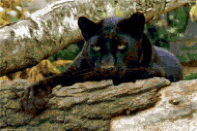 Черная пантера, животные