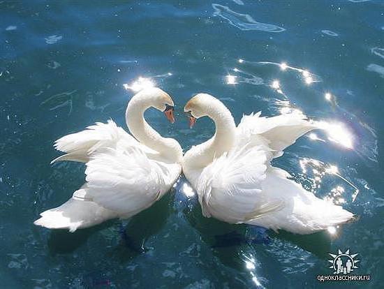 Пара лебедей, пара лебедей