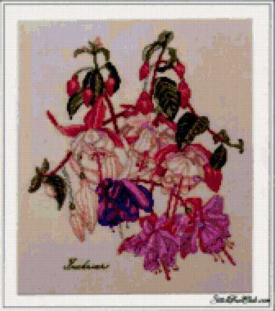Фуксия, ботаника, цветы