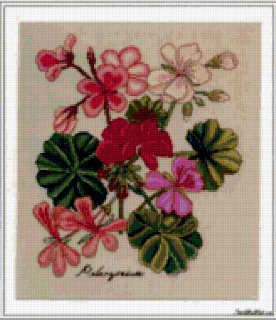 Герань, ботаника, цветы