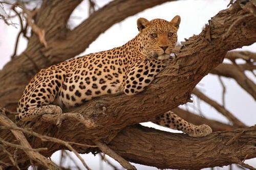 животные, леопард, тигр,