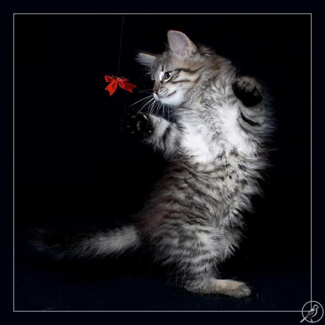 Кот и бантик, кошки