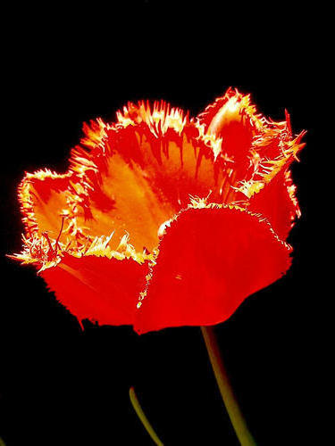 Красный тюлпан на черной канве