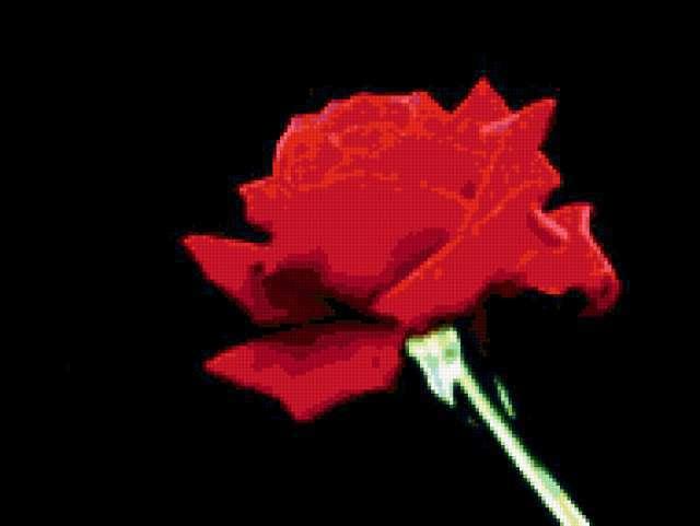 Красная роза на черной канве,