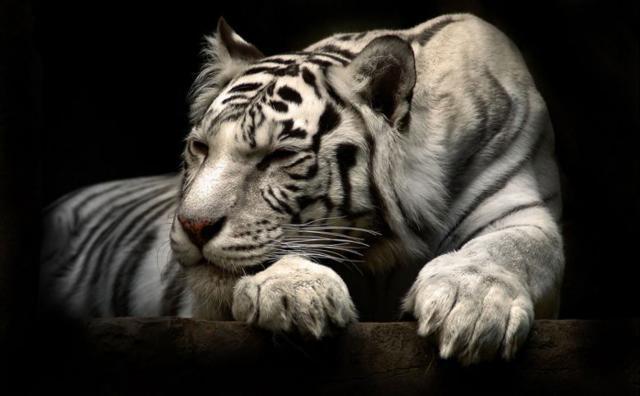 Белый тигр на черном фоне,