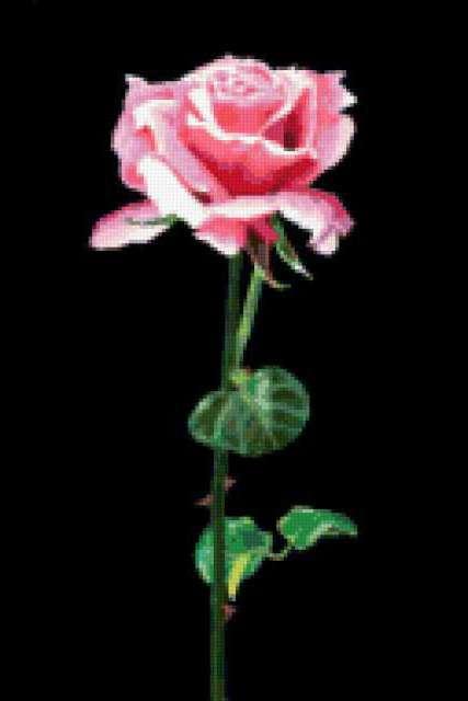 Роза на черной канве, роза,