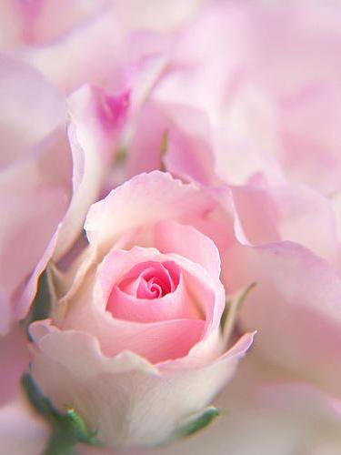 Серия Нежные цветы 1, цветы, нежность, роза