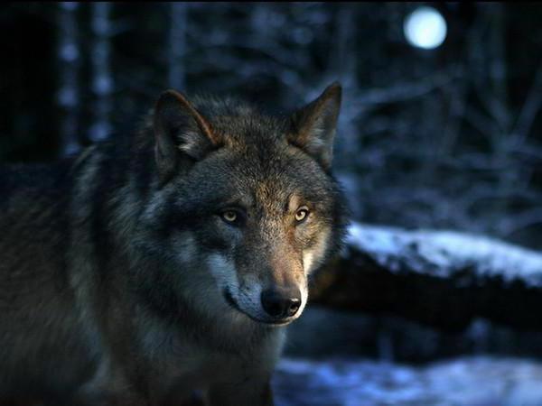 Волк - символ верности