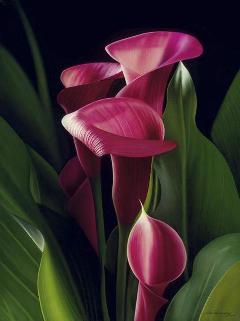 Каллы, цветок, цветы, каллы
