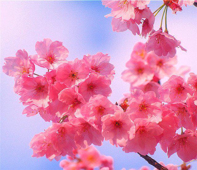 Сакура. Цветы, оригинал