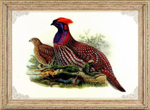Цесарки, птицы, фазаны