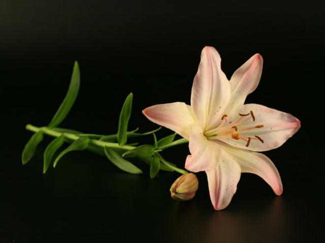 Цветы на чёрном фоне, лилия