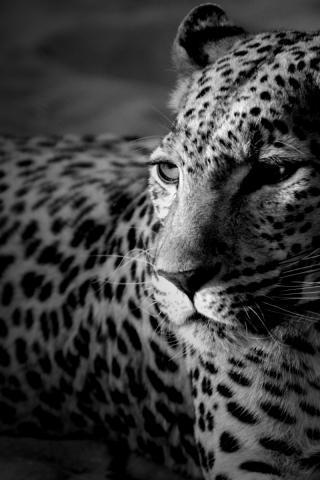 Ч/б леопард, оригинал