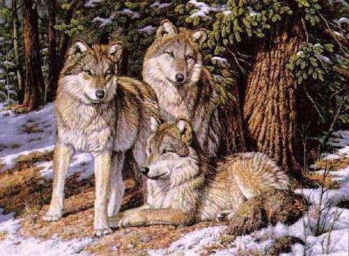 Семья волков, животные, волки