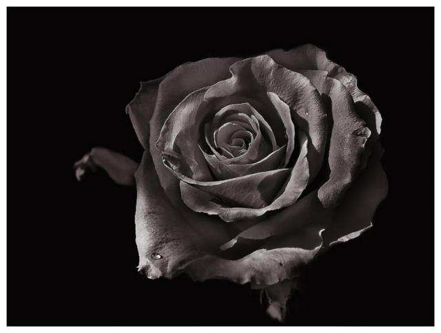 Черная роза, роза, черный