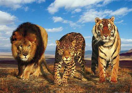 Большая тройка, тигр, леопард,