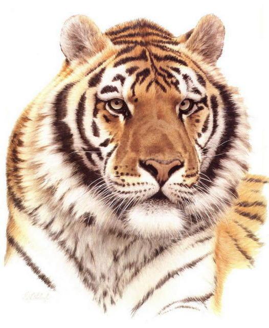 Уссурийский тигр, живопись