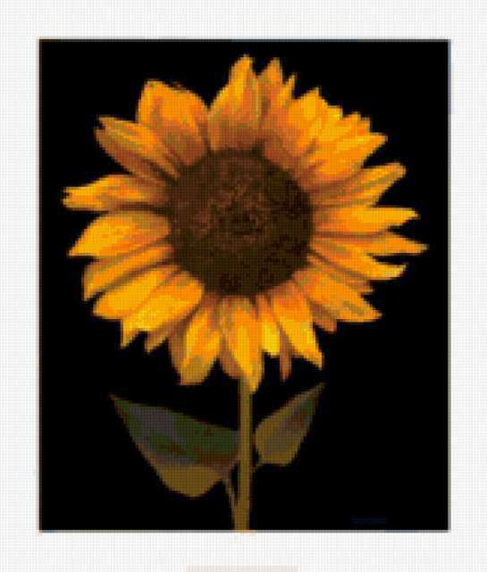 Подсолнух, подсолнух, цветы