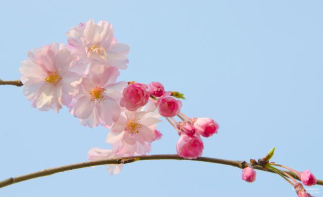 Ветка яблони, цветение, цветы