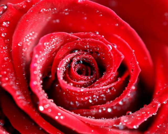 Роза в росе, роза, роса
