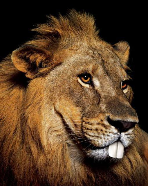 Лев, львы, дикие, животные
