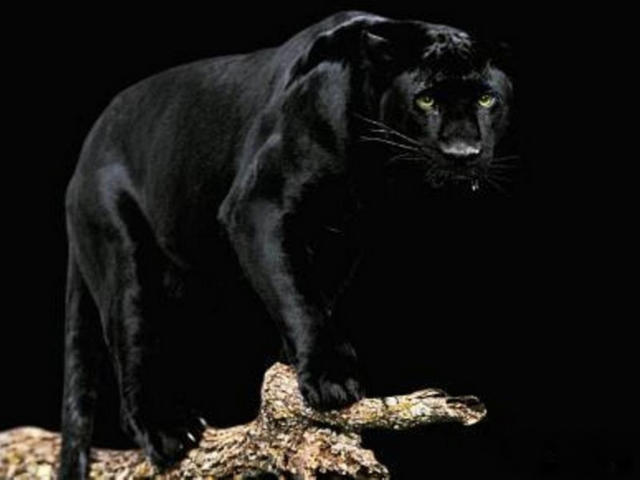 Черная пантера, оригинал