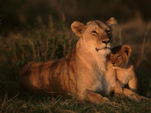 Львица и львенок, оригинал