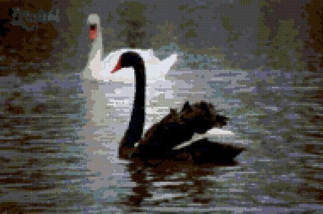 Черный лебедь, белый лебедь,