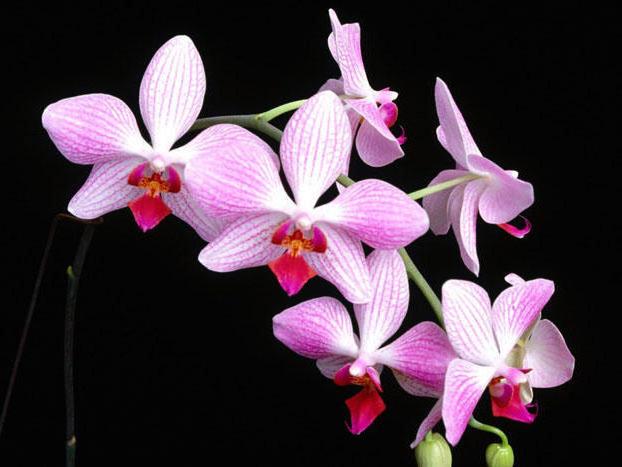 Орхидеи на черном фоне,