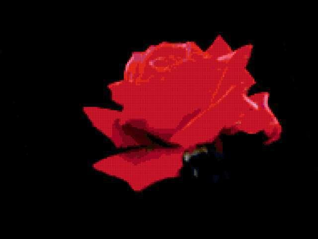 Роза на черном фоне,