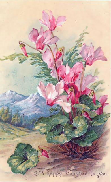 Цикламены, букет, цветы