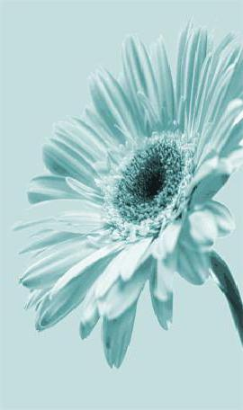 Голубая гербера, цветы