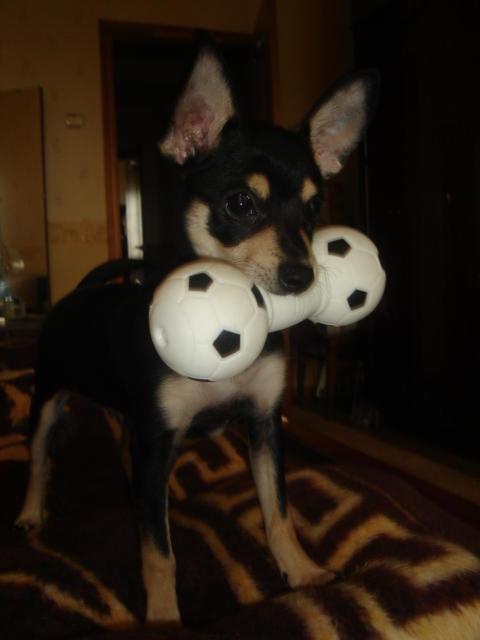 Джеки, собаки той-терьер