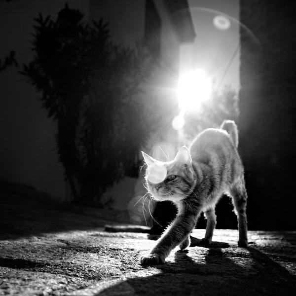 Крадущийся кот, животные
