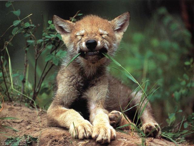 волк, волчонок, волчица,
