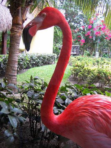 Фламинго, оригинал