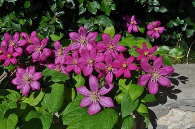 Клематис, клематис, цветы