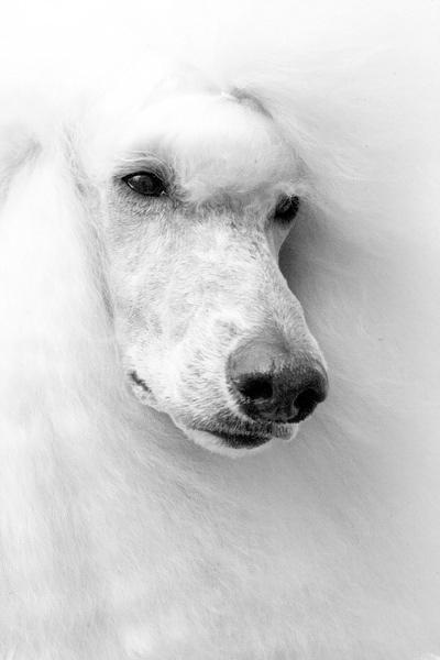 Белый пудель, оригинал