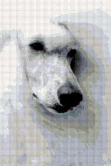 Белый пудель, собаки, пудель