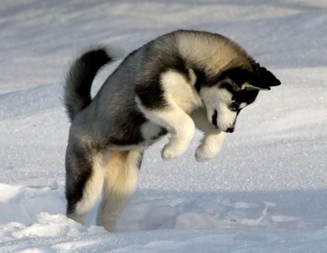 "Собака породы ""Хаски"""
