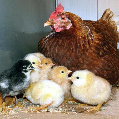 Курица с цыплятами, оригинал