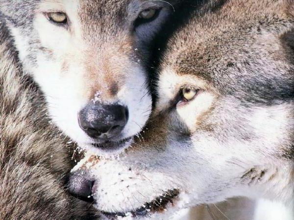 Волки, любовь, верность