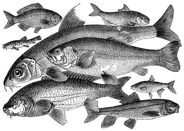 Рыбы, оригинал