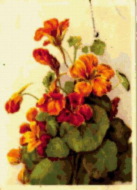 Настурция, настурция, цветы
