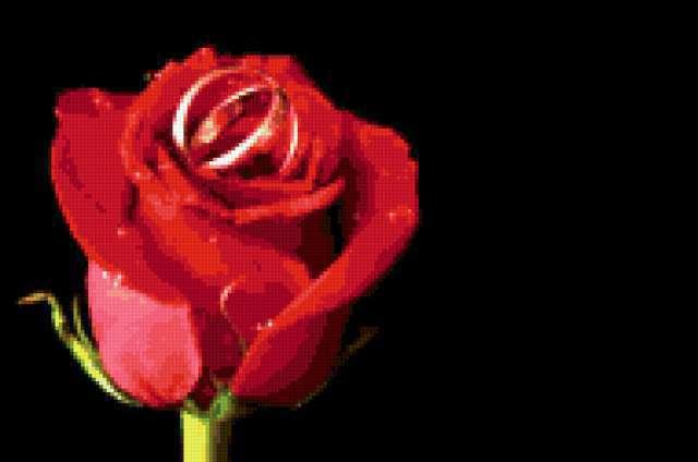 Обручальные кольца на розе,