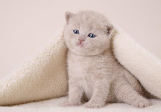 Котёнок греется под одеялом,