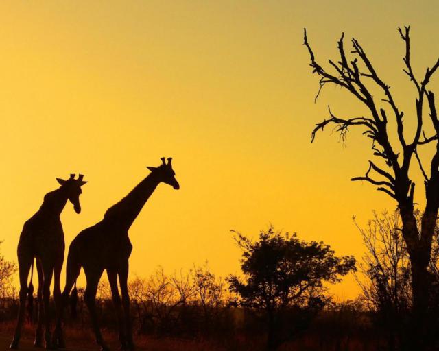 Саванна вечером, жирафы