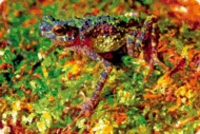 Борнейская радужная жаба