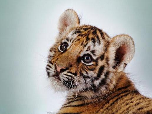 Очень милый тигрёнок!